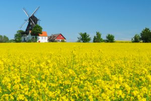Rapeseed field and windmill